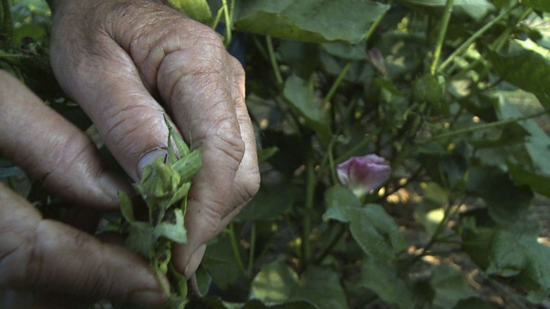 Farmer Brown points out a cotton bloom and cotton square.